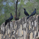 Great tailed grackle family
