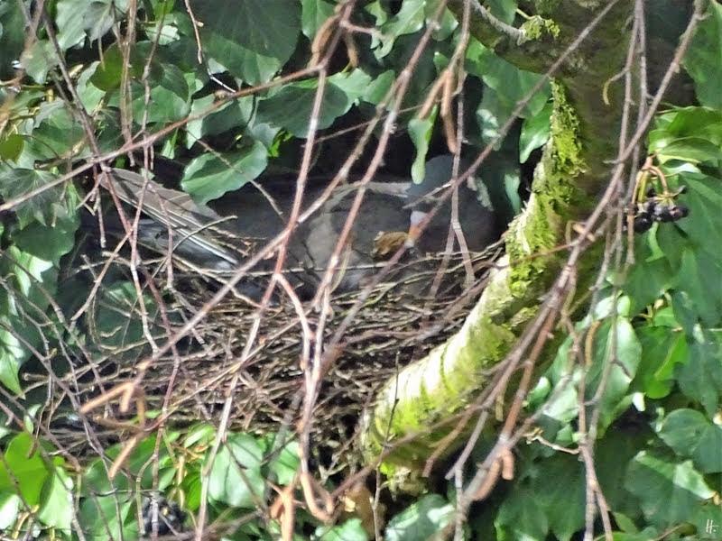 2019-03-19 LüchowSss Garten Ringeltauben-Nest in Birke und Efeu
