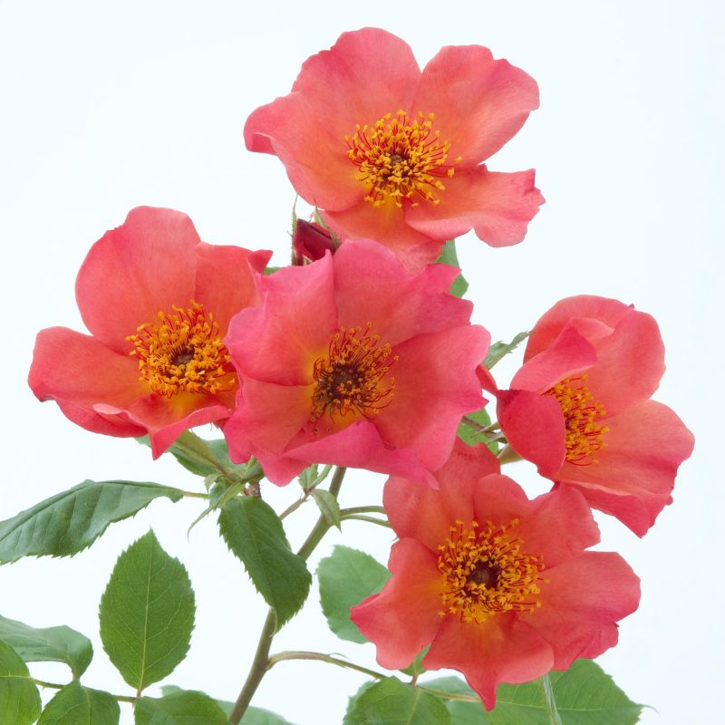 english rose MORNING MIST