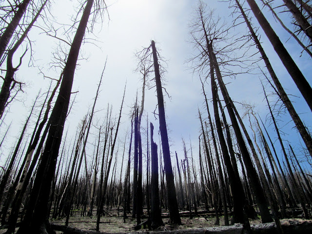Burned aspen and pines
