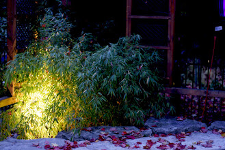 Photo: Special plants like bamboo glow from the inside when light is cast upwards into them.
