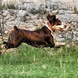by Abdul Rehman - Animals - Dogs Running (  )