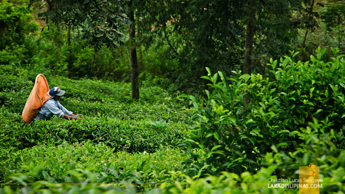 Ella to Colombo Train Tea Plantations