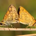 Common Grass Dart Butterfly