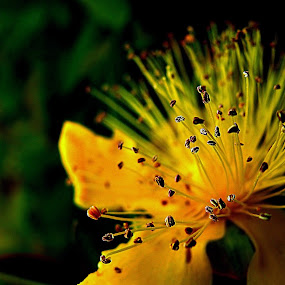 Explosion. by Caitlin Scroggins - Nature Up Close Flowers - 2011-2013 ( explode,  nature,  yellow,  flower )