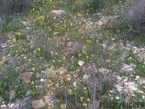 Photo: Ett hav av gula vårblommor