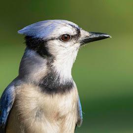 Starry Eyes by Kathy Jean - Animals Birds ( close up, jay, blue jay, bird, animal )