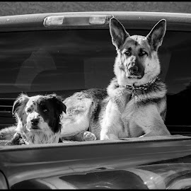 Dogs by Dave Lipchen - Black & White Animals ( dogs )