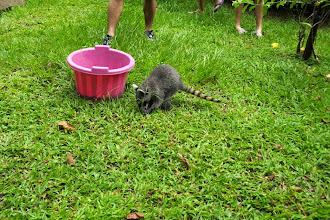 Photo: Crab eating raccon named Fofo eating a crab 6/2003