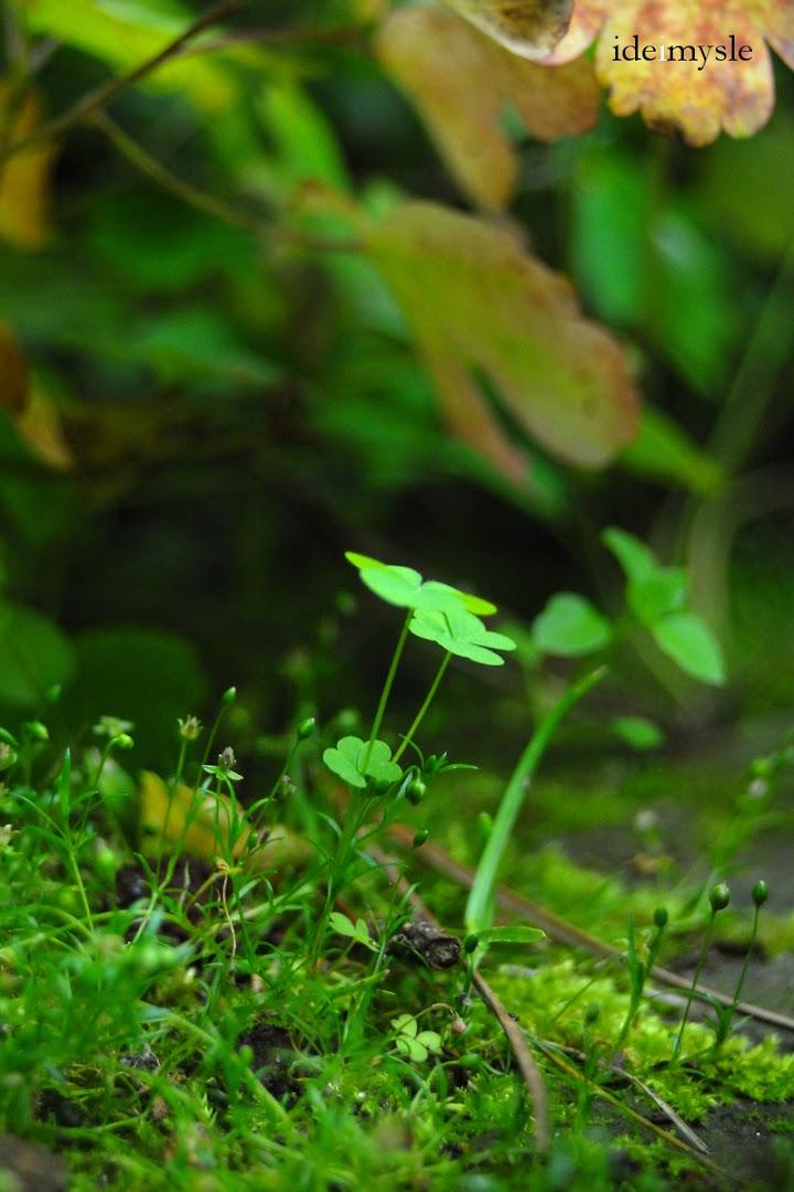 oxalis acetosella, dziki szczawik, dziki szczaw leśny, jadalne szczawiki, dzikie rośliny jadalne