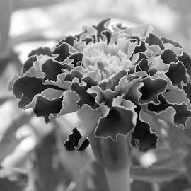 BIBW by Deborah Murray - Black & White Flowers & Plants ( nature, black and white, marigold, summer, garden, flower )