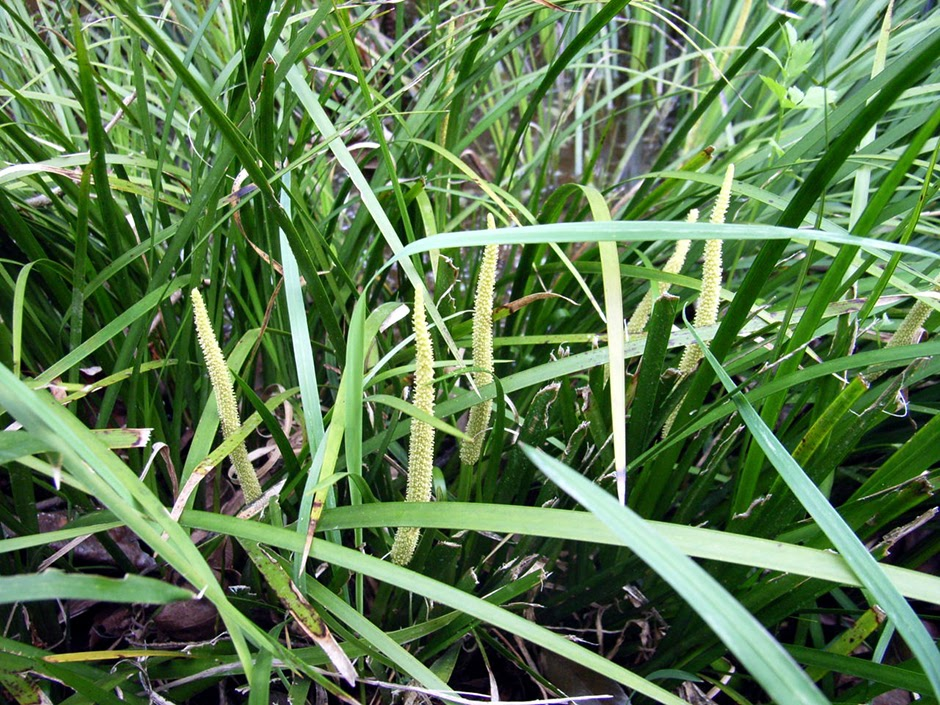 Аир злаковый (Аир злаковидный) (Acorus gramineus)