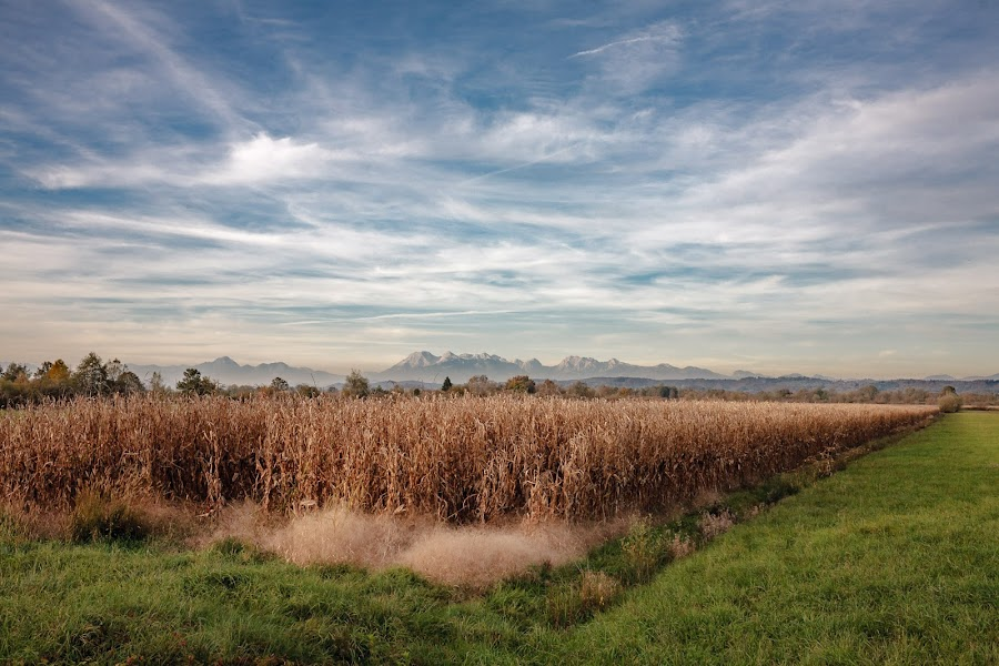 Corn field by Jernej Lah - Landscapes Prairies, Meadows & Fields ( field, mountains, kolesarjene, barje, ljubljana, corn )