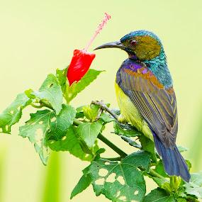 Colorful Sunbird by Eric Wang - Animals Birds