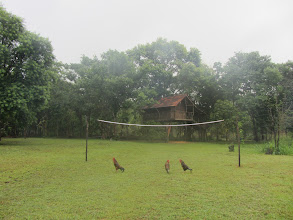 Photo: Chickens ready for some volleyball.