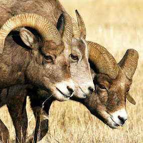 Three of a kind. by Brandi Nichols - Animals Other Mammals ( wildlife nature yellowstone national park montana bighorn ram, yellowstone, national park, nature, ram, wildlife, bighorn ram, bighorn, bughorn,  )