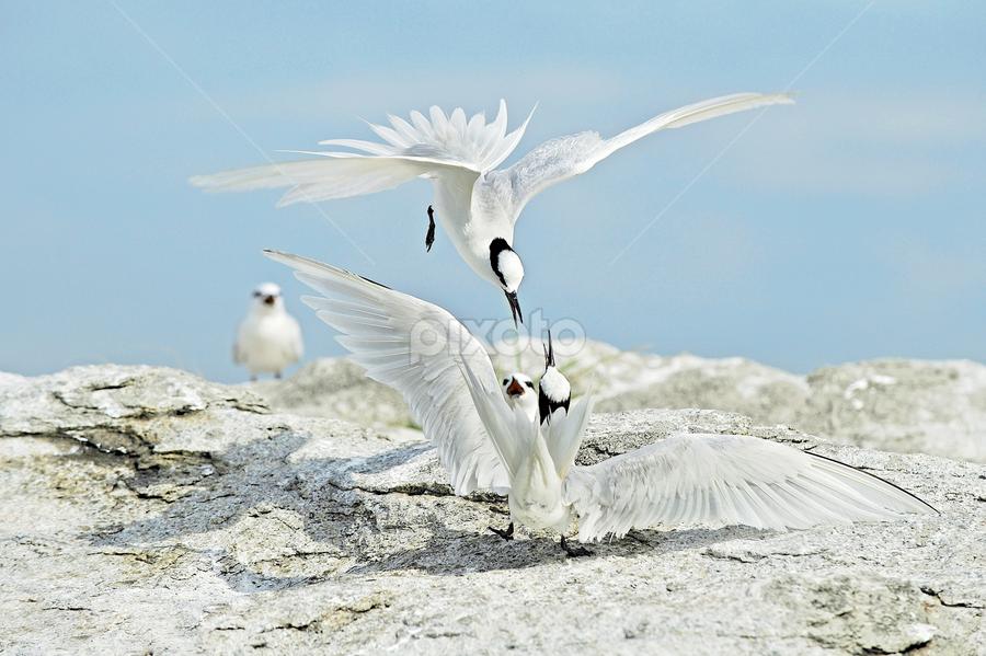 by Koktiong Ong - Animals Birds ( Bird in flight, bif )