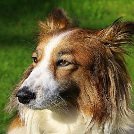 This is My Best Side! by Chrissie Barrow - Animals - Dogs Portraits ( female, sheltie cross, long haired, pet, white, fur, ears, dog portrait, nose, tan, eyes )