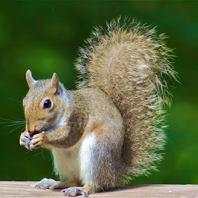 Lunch time by Jennifer Lamanca Kaufman - Novices Only Wildlife ( green, eating, nut, lunch, squirrel, animal )