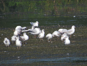 Photo: 26 Aug 13 Priorslee Lake This motley collection of 17 Black-headed Gulls includes no fewer than 15 immatures, 14 of which seem to be moulting from their 'ginger' juveniles garb in to first-winter plumage. So where were all the adults? (Ed Wilson)