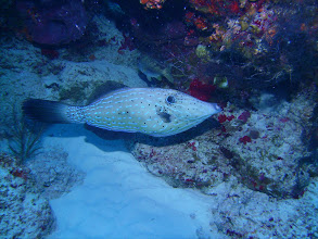Photo: Scrawled Filefish