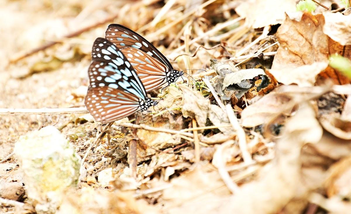 Ceylon Blue Glassy Tiger (擬旖斑蝶)
