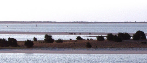Photo: A few feral horses returning to Town Marsh and the Rachel Carson Reserve...after spending the night on Bird Shoal. Shackelford Banks in the background. (I use the original spelling early Shackelford settlers used.) Shackelford.