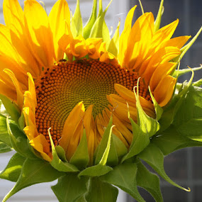 by Jackie Sleter - Nature Up Close Gardens & Produce ( nature, sunflower )