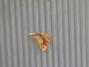 Photo: 9 Jul 13 Priorslee Lake: A Barred Yellow moth on one of the lamps. (Ed Wilson)