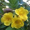 Yellow Trumpetbush