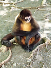 Photo: Sweetie, resident spider monkey at the animal refuge