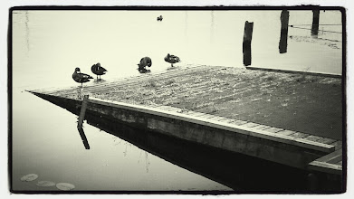 Photo: Ducks in the harbour.