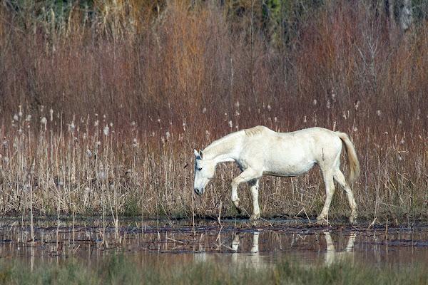 Il cavallo bianco di si