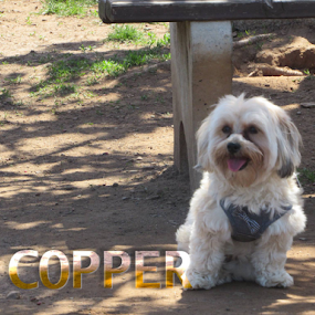 by Karen Dayton - Typography Captioned Photos ( canine, rocky hill, dog park, mixed breed, bench, connecticut, yorkshire terrier, maltese, copper, tongue out, happy dog, morkie, dog,  )