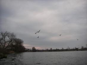 Photo: Łabędzie przed śluzą Wróblin