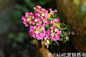 Photo: 拍攝地點: 梅峰-溫帶花卉區 拍攝植物: 香雪球(奇境) 拍攝日期:2013_01_07_FY