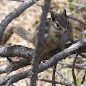 Colorado Chipmunk