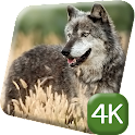 Wild Wolf 4K Live Wallpaper icon