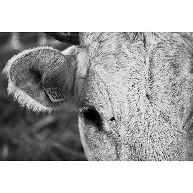 O o o occhi di mucca.....e  pure orecchio! di pierogiamp