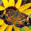 Pearl crescent (female)