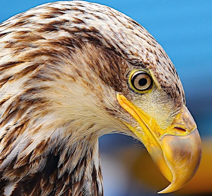 Sub-Adult Bald Eagle by Capt Jack - Animals Birds ( amazing, fishing alaska, flight, wow, eagle, alaska, raptor, bering sea, bald eagles, birds, patriot )