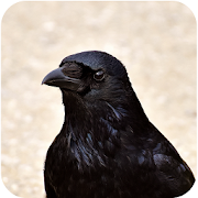 Crow Sounds