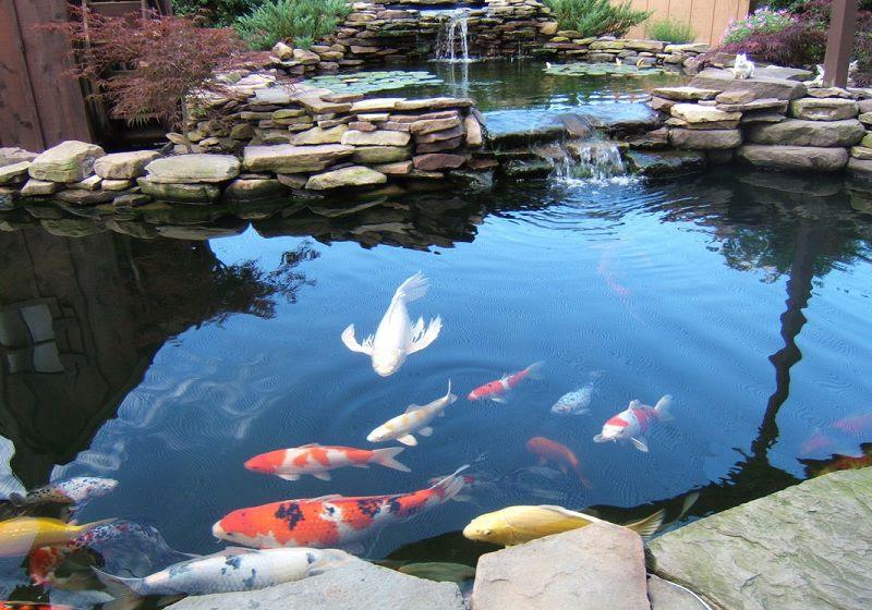 Cách nuôi cá Koi Nhật Bản. Thức ăn cho cá Koi theo từng giai đoạn