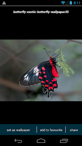 Amazon Butterfly Wallpapers