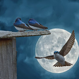 Swallows & Full Moon by Bill Diller - Digital Art Animals ( full moon, tree swallows, michigan, nature, bird, flying, swallows, birds, birds in flight, wildlife )