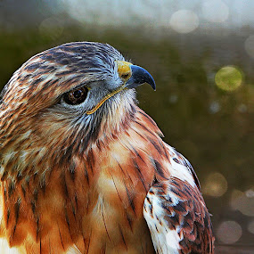 Hawk by Muhammad Amin Zia - Animals Birds