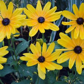 Flowers by Jay Hathaway - Flowers Flower Gardens ( black eyed susan, gardens, leaves, flowering, flower )