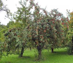 Photo: Äpfel en masse, leider noch nicht reif ;-((