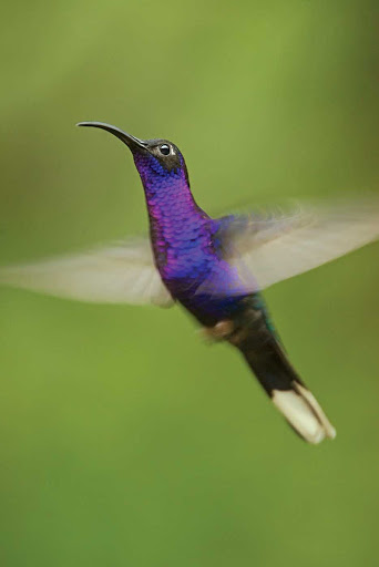 long-tailed hummingbird-costa-rica.jpg - A long-tailed hummingbird in Costa Rica.