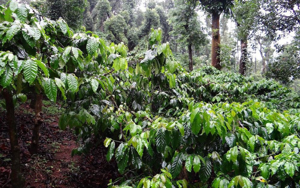 coffea robusta plants
